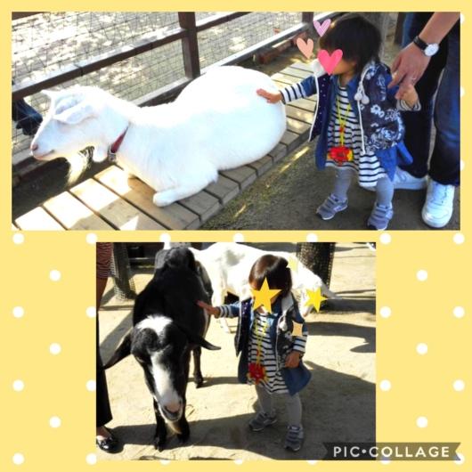 京都市動物園ふれあいグラウンドヤギ