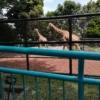 野毛山動物園キリン親子