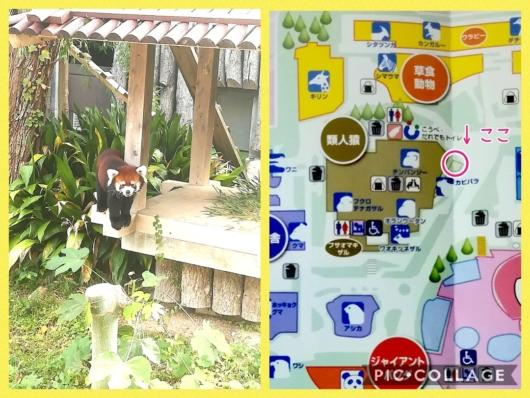 王子動物園レッサーパンダ