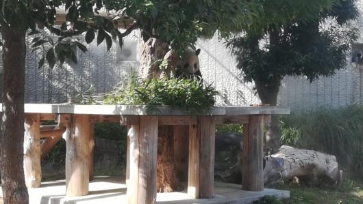 王子動物園パンダお食事タイム
