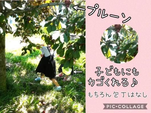 子出かけ子連れ旅行お出かけ北海道余市山本観光果樹園果物狩り夏休み5歳2歳プルーン