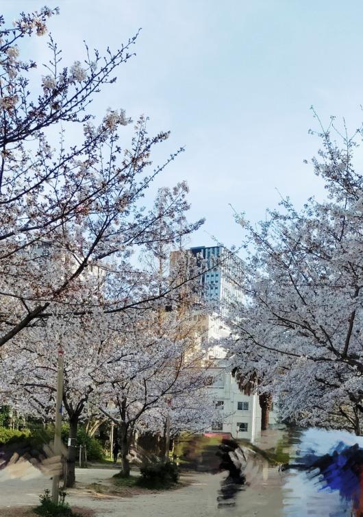 桜開花状況2021年大阪靭公園子連れお花見